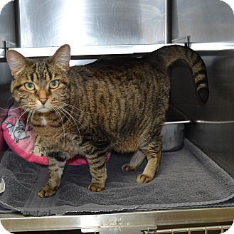 Domestic Shorthair Cat for adoption in Wheaton, Illinois - Bella