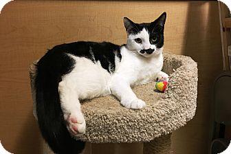 Domestic Shorthair Kitten for adoption in Riverside, California - Boris