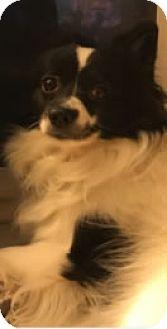 Papillon/Pomeranian Mix Dog for adoption in Avon, New York - Tika