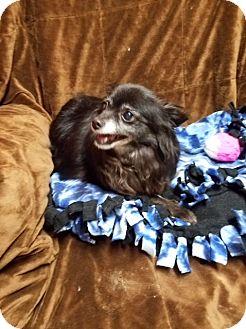 Chihuahua Mix Dog for adoption in Lynnwood, Washington - SUGAR - ADOPTED!!