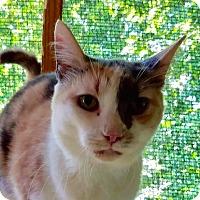Calico Cat for adoption in New York, New York - Roberta