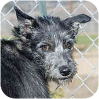 Schnauzer (Standard) Mix Dog for adoption in San Clemente, California - ANGIE
