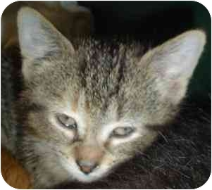 Domestic Shorthair Kitten for adoption in Walker, Michigan - Tiger Lily