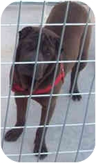 Shar Pei Dog for adoption in Tahlequah, Oklahoma - Nell