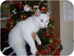 Balinese Cat for adoption in Rochester, New Hampshire - Angel Cat