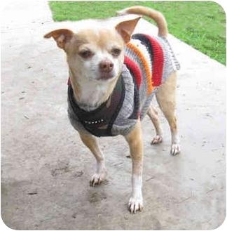 Chihuahua Dog for adoption in San Clemente, California - NIKO