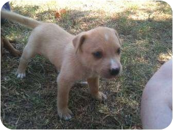 American Pit Bull Terrier/Boxer Mix Puppy for adoption in White Settlement, Texas - Arizona's Sissy
