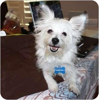 Papillon/Maltese Mix Dog for adoption in Yorba Linda, California - Roxanne