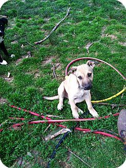 Spaniel (Unknown Type)/Feist Mix Puppy for adoption in Hartford, Connecticut - Everett