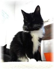 Domestic Shorthair Kitten for adoption in Shelton, Washington - Fluffy