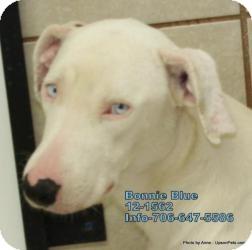 Labrador Retriever/Shepherd (Unknown Type) Mix Dog for adoption in Media, Pennsylvania - Bonnie Blue Eyes