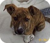 Australian Cattle Dog/Pit Bull Terrier Mix Dog for adoption in Silver City, New Mexico - Bow