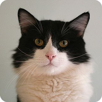 Domestic Shorthair Cat for adoption in Columbia, Maryland - Trix And Company