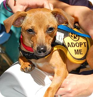 Chihuahua/Jack Russell Terrier Mix Puppy for adoption in Baton Rouge, Louisiana - Petey