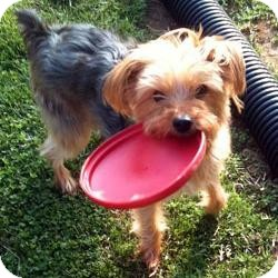 Yorkie, Yorkshire Terrier Mix Dog for adoption in Visa, California - Dodger