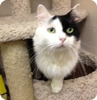 Domestic Longhair Cat for adoption in St. Petersburg, Florida - Oreo