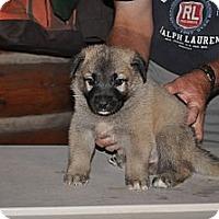 Adopt A Pet :: Bijou - Hamilton, MT
