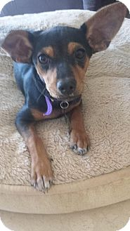 Chihuahua Mix Puppy for adoption in Peoria, Arizona - Jelly