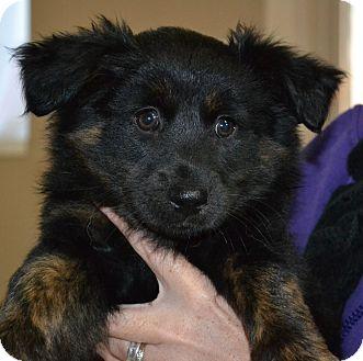 Australian Shepherd Mix Puppy for adoption in Mt Sterling, Kentucky - Beth