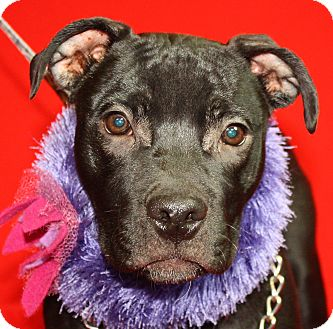 Pit Bull Terrier Mix Puppy for adoption in Jackson, Michigan - Flower