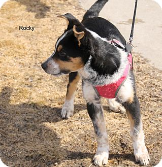 Australian Shepherd Mix Dog for adoption in Hibbing, Minnesota - Rocky