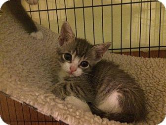 British Shorthair Kitten for adoption in Forest Hills, New York - Simba