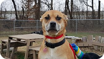 Staffordshire Bull Terrier/Retriever (Unknown Type) Mix Dog for adoption in Louisville, Kentucky - Simba