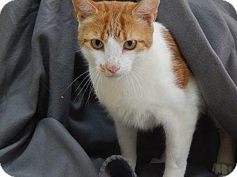 Domestic Shorthair Cat for adoption in Bucyrus, Ohio - Buddha