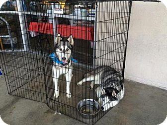 Siberian Husky Dog for adoption in Glendora, California - Jack