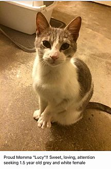 Domestic Shorthair Cat for adoption in Brentwood, New York - Lucy