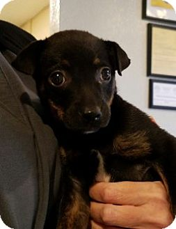 Terrier (Unknown Type, Small) Mix Puppy for adoption in Gustine, California - ROSIE LU