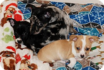 Chihuahua Mix Puppy for adoption in Salem, West Virginia - Doodle