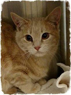 Domestic Shorthair Kitten for adoption in Pueblo West, Colorado - Hommer