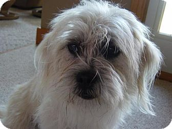 Cairn Terrier Mix Dog for adoption in Cushing, Oklahoma - LACY adopted