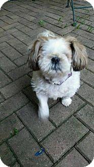 Shih Tzu Dog for adoption in Livonia, Michigan - Maisy