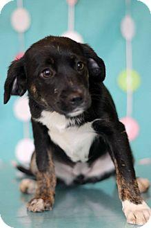 Labrador Retriever Mix Puppy for adoption in Waldorf, Maryland - Hula