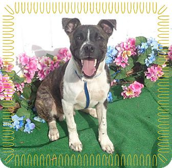 Plott Hound Mix Dog for adoption in Marietta, Georgia - BEAU