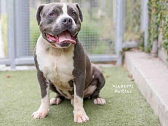 Pit Bull Terrier Dog for adoption in Los Angeles, California - MARBLES