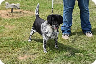 Beagle/Australian Cattle Dog Mix Dog for adoption in North Judson, Indiana - Boston
