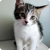 Adopt A Pet :: Gallagher - Maywood, IL