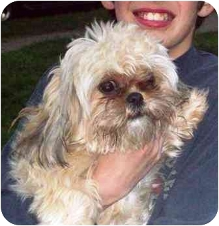 Shih Tzu Dog for adoption in Osseo, Minnesota - Libbie