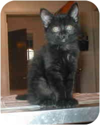 Domestic Mediumhair Kitten for adoption in Rockville, Maryland - Spanky