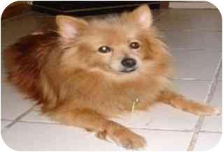 Pomeranian Mix Dog for adoption in Melbourne, Florida - CHAZ