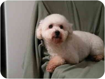 Bichon Frise/Poodle (Toy or Tea Cup) Mix Dog for adoption in PRINCETON, New Jersey - Diamond