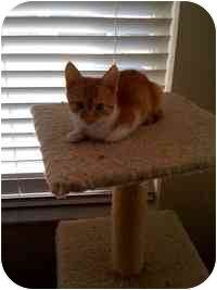 Domestic Shorthair Kitten for adoption in Tampa, Florida - Archy