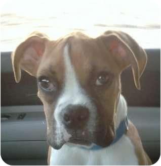 Boxer Puppy for adoption in Reno, Nevada - Eddie