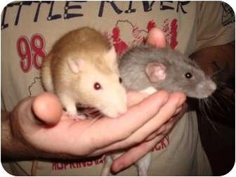 Rat for adoption in Hopkinsville, Kentucky - Remi & Ike
