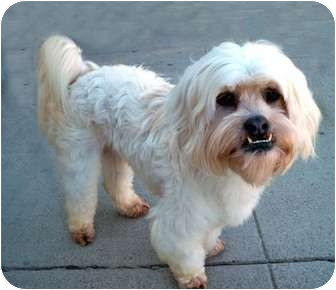 Lhasa Apso Dog for adoption in Los Angeles, California - GUIDO