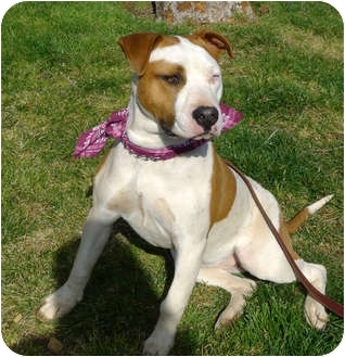 American Staffordshire Terrier/American Bulldog Mix Dog for adoption in Sacramento, California - Eclipse.Stunning