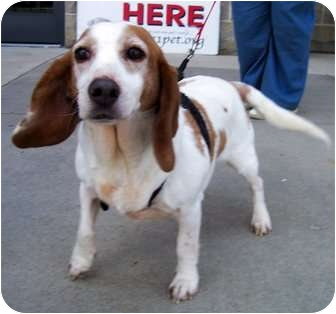 Beagle/Basset Hound Mix Dog for adoption in Olive Branch, Mississippi - Daisy Warms Your Heart!